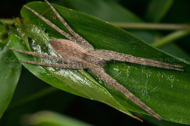 Nursery Web Spider (Pisaurina mira), West Harrison, Westchester County, New York