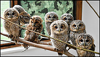 Tw-Eight, Tw-oo - Animal charity swamped by tawny owls.