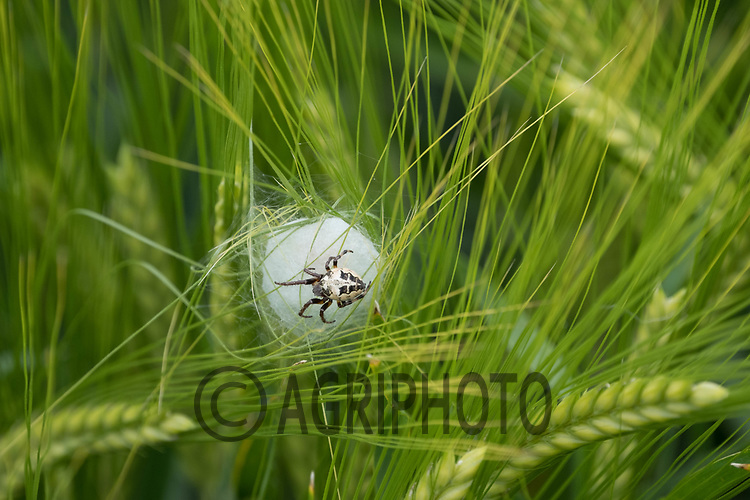 Spider building a nest in Winter Barley<br /> &copy;Tim Scrivener Photographer 07850 303986<br /> ....Covering Agriculture In The UK....