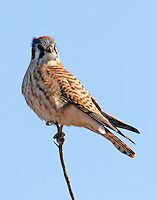 Adult female american kestrel