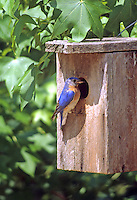 Bluebirds & Thrushes
