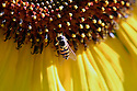 Sunflower close up with bee