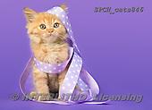 Xavier, ANIMALS, REALISTISCHE TIERE, ANIMALES REALISTICOS, cats, photos+++++,SPCHCATS846,#a#