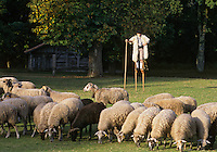 Europe/France/Aquitaine/40/Landes/Parc Naturel Régional des Landes de Gascogne/Marquèze (écomusée de la Grande Lande) /Sabres: Berger sur ses échasses gardant ses moutons