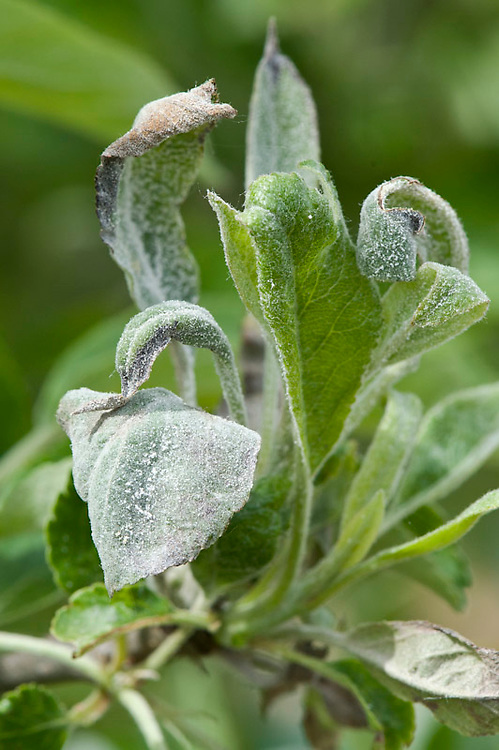 Apple powdery mildew (Podosphaera leucotricha), early May.
