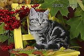 Carl, ANIMALS, photos(SWLA3735,#A#) Katzen, gatos