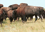 American Bison, North American bison, American buffalo, buffalo, grasslands of North America, Plains Bison, Wood Bison,Animal, wild animals, domestic animals,  Fine Art Photography, Ronald T. Bennett (c) Fine Art Photography by Ron Bennett, Fine Art, Fine Art photography, Art Photography, Copyright RonBennettPhotography.com ©