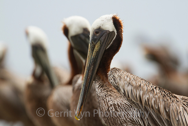 Adult Brown Pelicans (Pelecanus occidentalis). Baldwin County, Alabama. June.