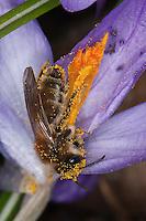 Sandbiene, Erdbiene, Weibchen beim Blütenbesuch auf Krokus, Nektarsuche, Pollen, Bestäubung, Andrena cf. praecox, mining bee, burrowing bee, Sandbienen, mining bees, burrowing bees,