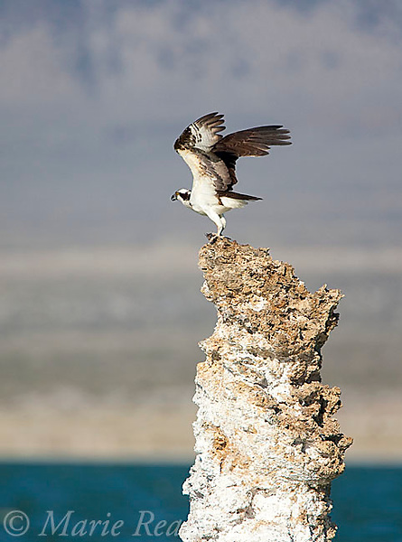 Osprey (Pandion haliaetus) taking flight from tufa tower, carrying a fish, Mono Lake, California, USA