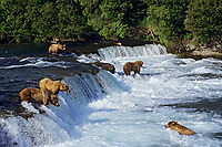 Coastal grizzlies or alaskan brown bears (Ursus arctos) fishing for salmon at Brooks Falls, Katmai National Park, Alaska.  July.