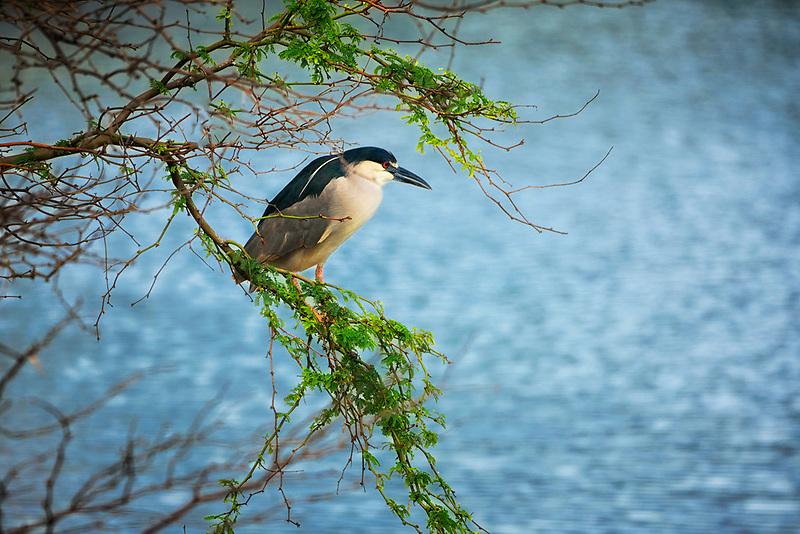 Black Crown Nigh Heron. Kealia Pond National wildlife Refuge. Maui, Hawaii