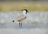 River Lapwing - Vanellus duvaucelii