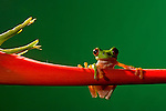 Parachuting Leaf Frog (Agalychnis saltator), Costa Rica