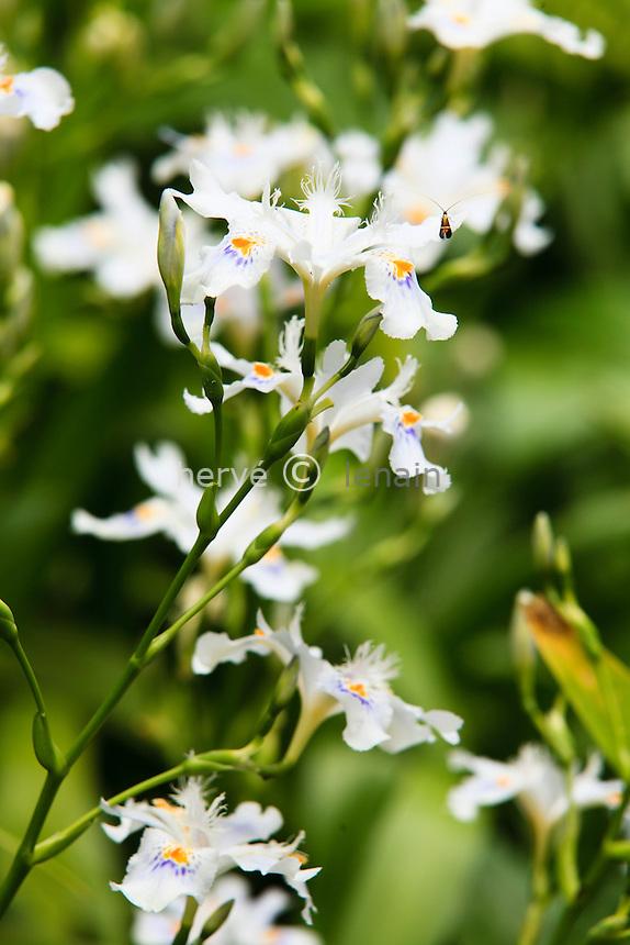France, Alpes-Maritimes (06), Menton, jardin Serre de la Madone :.iris du Japon, Iris japonica.