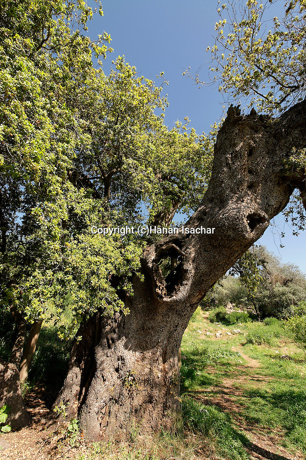 Israel, Jerusalem Mountains. Kermes Oak (Quercus Caliprinos) on Mount Tzuba