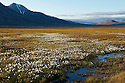 Arctic cottongrass dots the floor of a meadow outside Longyearbyen, Spitzbergen, Svalbard.