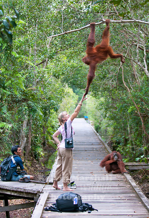 A tourist walking along a boardwalk has a close encounter with an Orangutan. Camp Leakey, Tanjung Puting National Park - Central Kalimantan Indonesia.