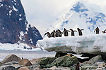 Gentoo Penguins on Danco Island, Antarctica