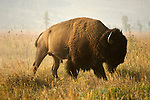 A male bison stands among the grass in Grand Teton National Park, Wyoming.