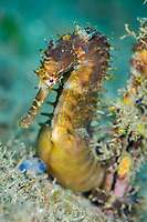 spiny seahorse, or thorny seahorse, Hippocampus histrix, pregnant male, Dumaguete, Philippines, Pacific Ocean