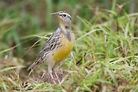 Eastern Meadowlark - Sturnella magna