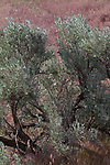 Hanford Reach National Monument, Columbia River, White Bluffs, Three tip sagebrush, Artemesia tripartita, Eastern Washington; Washington State, USA, spring, Nature Conservancy, Hanford May 2017 TNC,