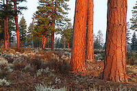 Ponderosa Pine trees glow from the light of the rising sun in central Oregon.
