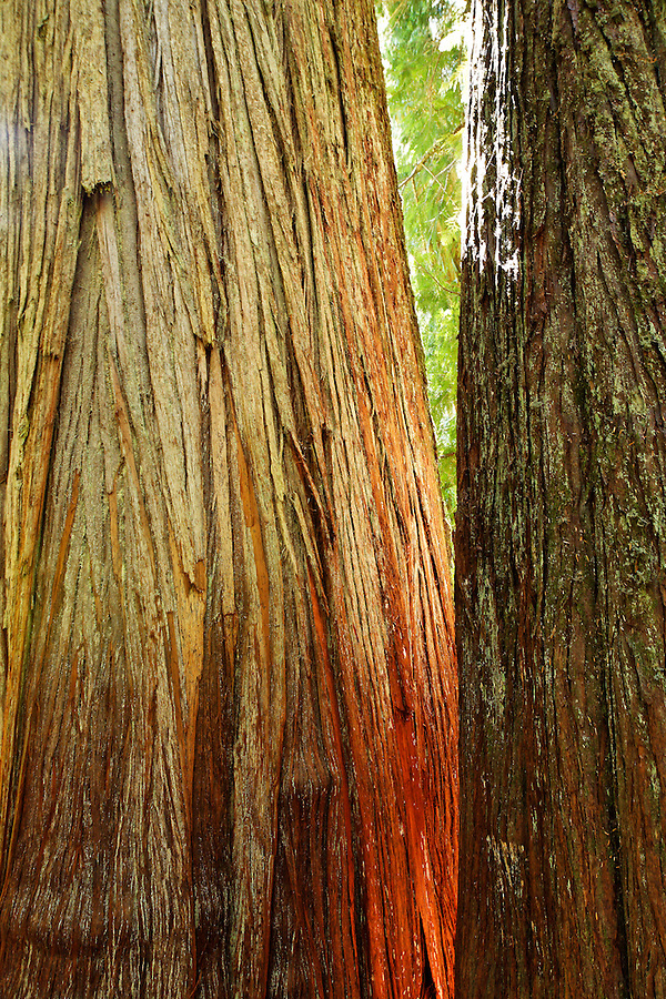 Trunks of western red cedar, Grove of the Patriarchs, Mount Rainier National Park, Washington, USA