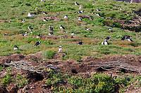 bird, Atlantic Puffin colony Fratercula arctica, Bonavista, Newfoundland CANADA
