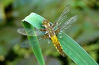 Broad-bodied Chaser - Lilbellula depressa - female
