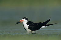Black Skimmer, Rynchops niger, adult, Welder Wildlife Refuge, Sinton, Texas, USA, June 2005