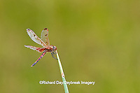 06578-00313 Calico Pennant dragonfly (Celithemis elisa) male perched near wetland, Marion Co., IL