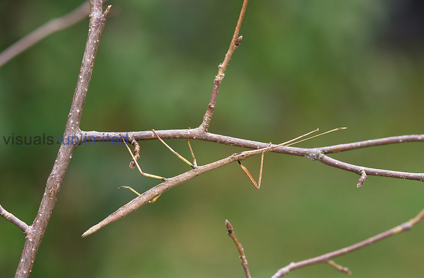 Male Northern Walkingstick insect (Diapheromera femorata), showing its camouflaging body form and color, North America.