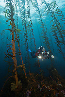 RS0385-D. a scuba diver (model released) with an underwater camera swims through a kelp forest on the Tasman Peninsula, southeast Tasmania. This is the same species of giant kelp (Macrocystis pyrifera) which grows along the California coastline. Tasmania, Australia, Pacific Ocean.<br /> Photo Copyright &copy; Brandon Cole. All rights reserved worldwide.  www.brandoncole.com