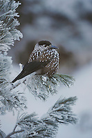 Spotted Nutcracker (Nucifraga caryocatactes), adult perched on frost covered Swiss Stone Pine by minus 15 Celsius, St. Moritz, Switzerland, December 2007