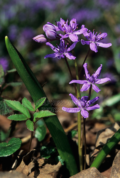 Alpine Squill, Scilla bifolia, blossom, Doubs, Jura, Switzerland, Europe
