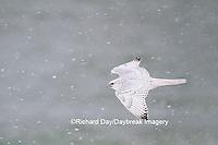 00817-00619 Gyrfalcon (Falco rusticolus) white phase in flight in snow Churchill Wildlife Management Area Churchill MB