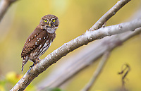 My tour groups have been very lucky to see the Ferruginois pygmy owl (also known as Ridgway's pygmy owl in this area) up close.