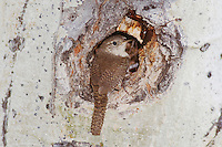 House Wren,Troglodytes aedon,adult at nesting cavity in aspen tree, Rocky Mountain National Park, Colorado, USA