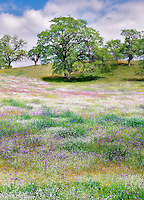 Mixture of wildflowers with oak trees. Kern County, California.