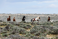 "A wild Mustang known as ""Kokomo"" defends his band from an interloper in Sand Wash Basin, Colorado."