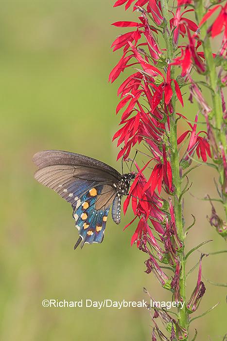 03004-01516 Pipevine Swallowtail (Battus philenor) on Cardinal Flower (Lobelia cardinalis) Marion Co. IL