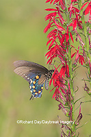 03004-01516 Pipevine Swallowtail (Battus philenor) on Cardinal Flower (Lobelia cardinalis) Marion Co. IL