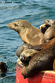 Stock Photo of Sea Lions