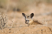 Bat-eared fox pup in burrow