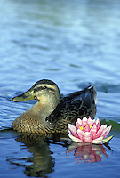 Female Mallard duck Anas platyrhynchos, swimming beside pink water lily
