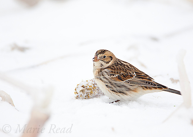 Lapland Longspur (Calcarius lapponicus), non-breeding plumage, feeding on corncob on snow-covered ground, New York, USA