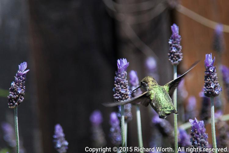 A female Anna's hummingbird flits among lavendar flowers.
