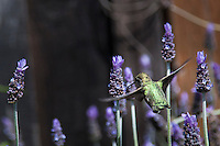 A female Anna's hummingbird flits among lavendar flowers.